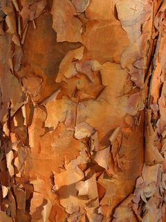 GINGERBREAD Paperbark Maple 2