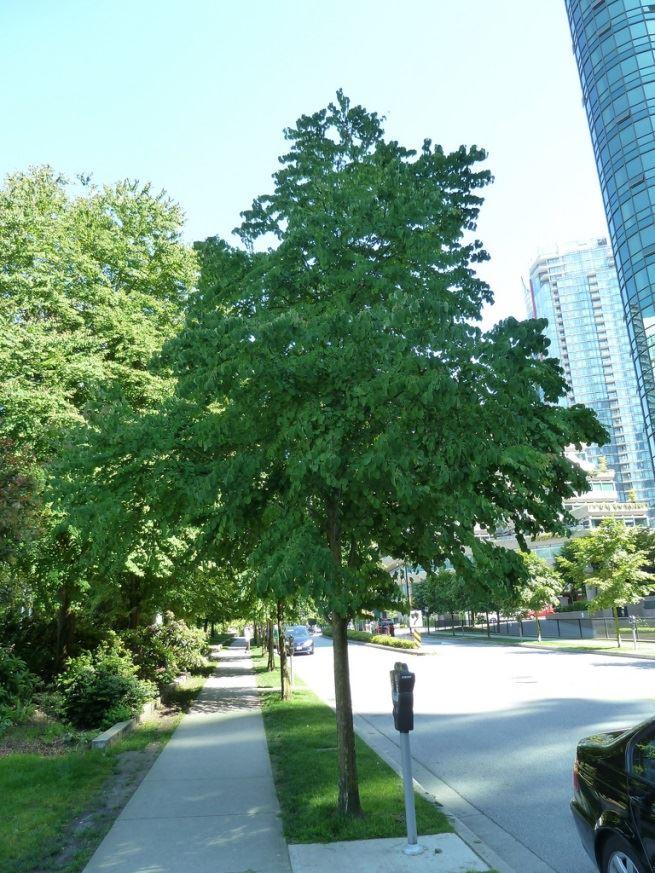 Katsura Tree 2